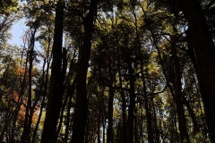 Des arbres hauts de 50 mètres