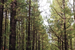 Forêt Chinyero