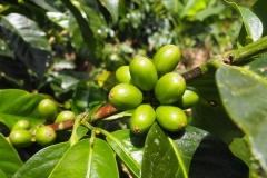 Le café à l'état naturel