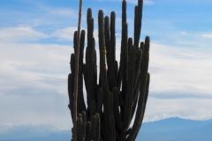 Cactus colombien