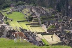Lama Picchu