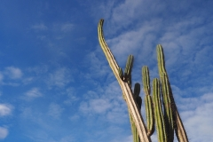 Il y a des cactus