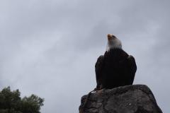 Ceci est un véritable aigle