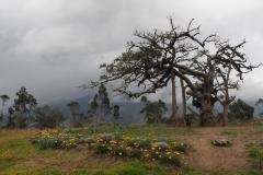 L'arbre millénaire
