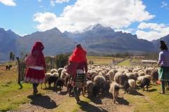 Les bergères et les moutons