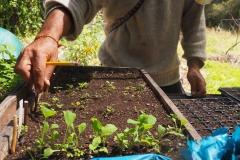 Planter des choux